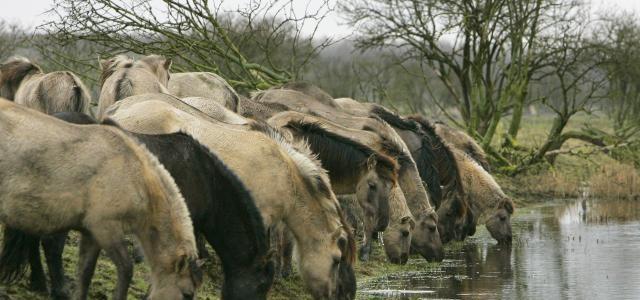 De Grote Grazers, De Winter, De Publieke Opinie en het Falen van Staatsbosbeheer